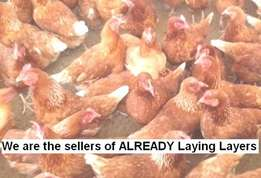 """We are the sellers of """"Already Laying"""" and """"About to Lay"""" Layers"""