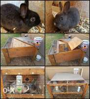 Angora Rabbits Breeding pairs with cage.