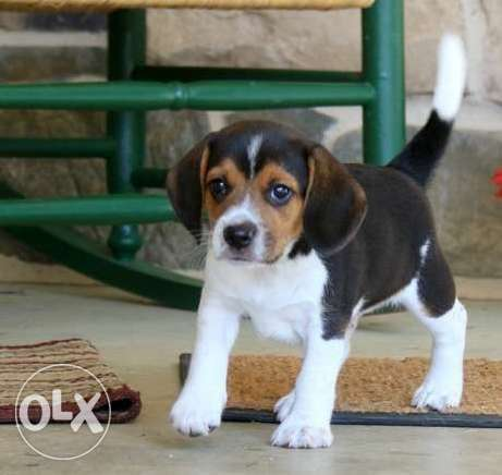 Very Sweet Charming Beagle Puppies