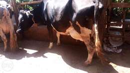 Super high breed dairy cows on sale