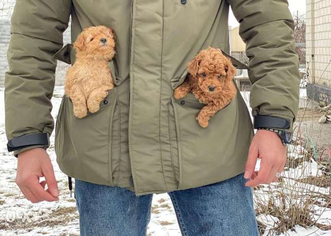 Toy poodle puppies, weight 400 grams available in Egypt