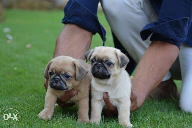 Imported Mini pug puppies fully vaccinated