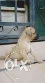 Amazing Boerboel puppies for sell Central Business District - image 5
