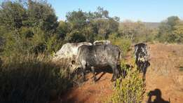 Nguni cow for sale