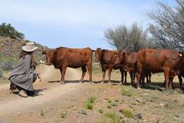 Bonsmara Heifers Males & Female Available for sale