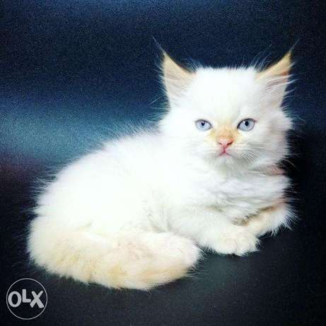 Persian kittens red point with blue eyes.