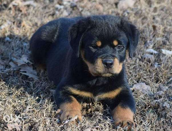 The Great Giant Rottweiler Imported from Europe