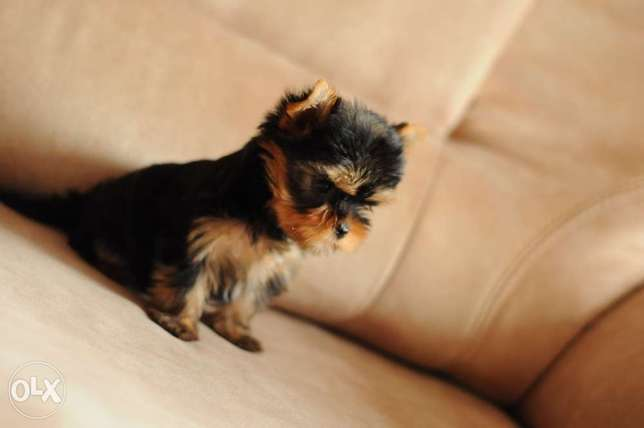 Yorkshire Puppies High Quality