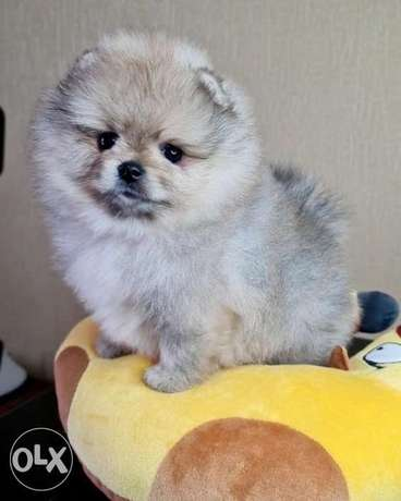 Cream male pomeranian for sale