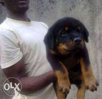 female rotweiler box head for sale