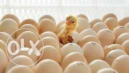 Poultry Hatching Services