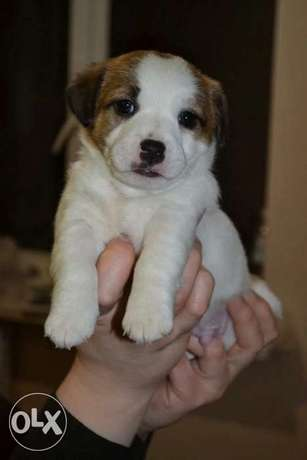 Now You Can Get Jack Russell puppy From Best kennel in Ukrainian