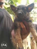 Male gsd puppy for sale