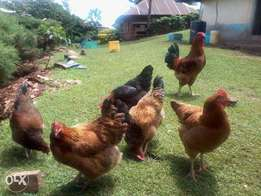 Selling KARI Improved Kienyeji chicken at an affordable price