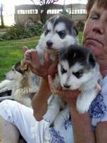 Puppies for sale injected and de wormed good health