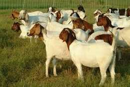 Selling all our boer goat and rams