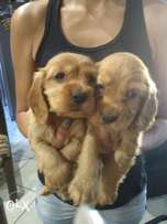 Spaniels Golden brown Puppies