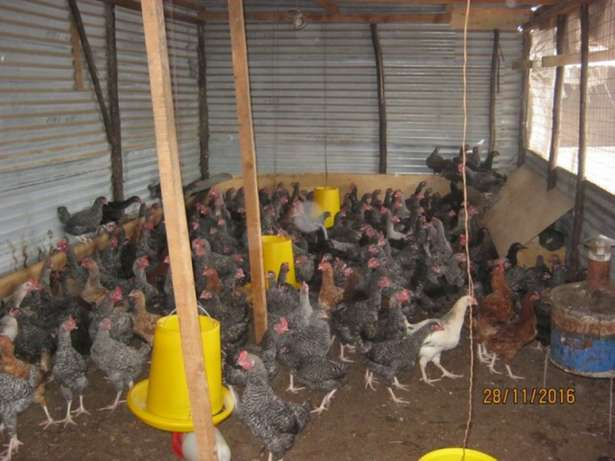 Chickens For Sale Ongata Rongai - image 7