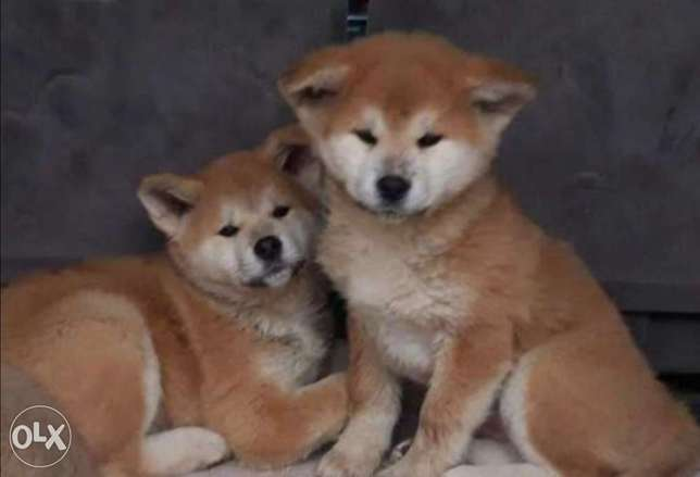 Japanese Akita, imported with all documents