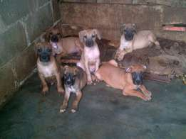 Boerboel super puppies in Lagos nigeria