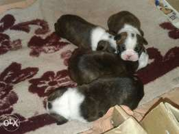 bosston terier pups for sale