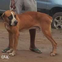 Imported Piebald Boerboel Territory guard male dog for sale.