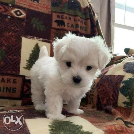 Well Socialized Maltese Puppies Available
