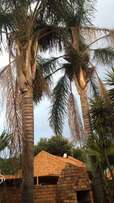 Large Palm Trees R9000 for both