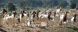 Boer Goats Bulks and Doe Available For Sale