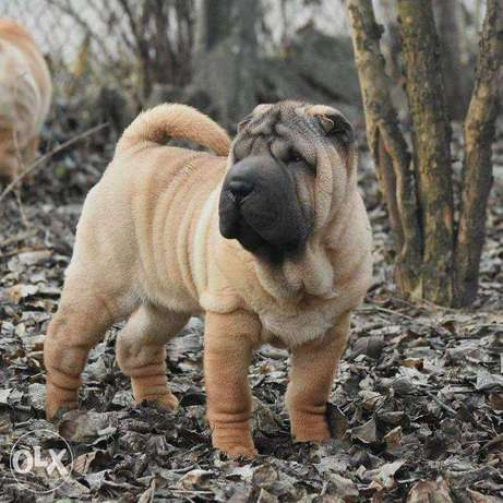 Shar pei puppies of various colors.
