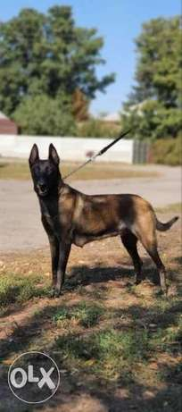 Imported Malinois Top Quality Best price Full documents from Ukraine