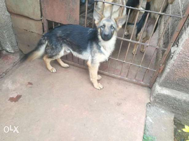 Long coat Gsdpuppies. Mugumoini - image 2