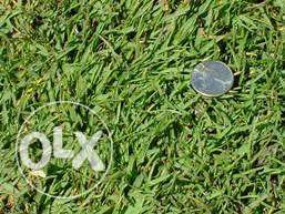 Paspalum lawn grass, Arabic, Maadi river Cape royal etc.