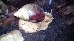 Giant African Snail for sale!