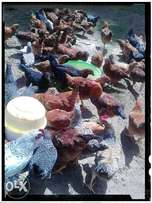 Kienyeji Chicken for sale (Rainbow roosters)