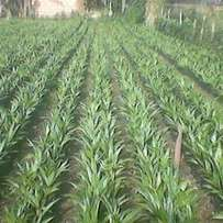 Treated hybrid tenera palm seedlings and sprouted seeds