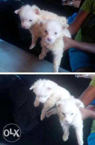 Cute Samoyed Puppies for sale Jos North - image 1