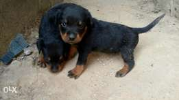Rottweiler puppies 4 Sale in Abuja