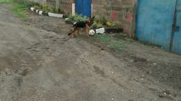 Pure breed female gsd 7months old
