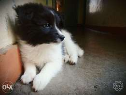 2 month old female Corgi, Maltese cross Spitz puppies for sale