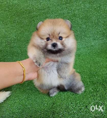 male pomeranian puppies for sale