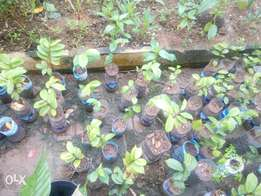 soursops seedlings for sale