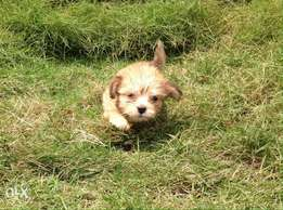 Cute Lhasa Apso male for cute owners
