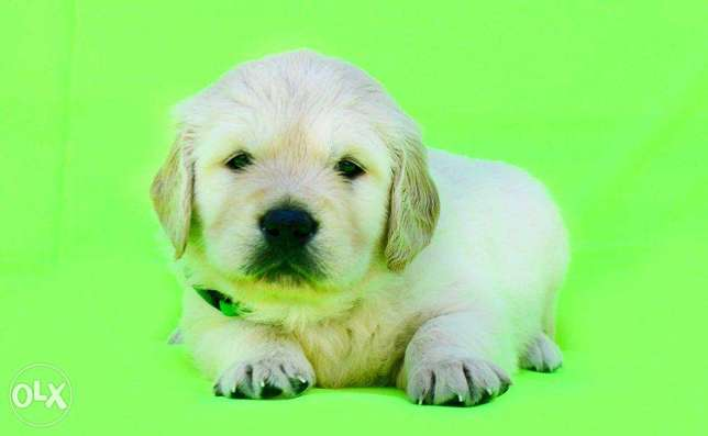 """the cutest Imported Golden Retriever puppies """"Top Quality"""""""