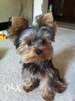 Wanted: YORKIE