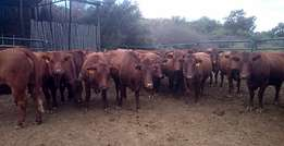 Bonsmara Cattle 2 to 3 years old very Healthy and weighs 400 to 500kg