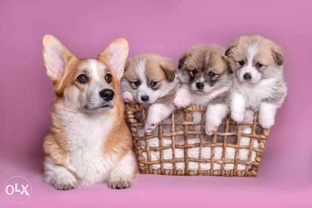 Cutest Corgi Puppies