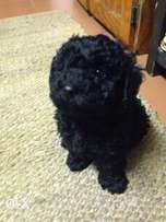 French toy poodle male for sale vet checked and dewormed inoculated