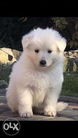 Imported white german shepherd