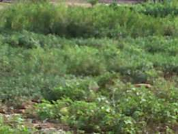 Dry and Fenced Half a Plot at Ajao Estate Isolo. CofO. 15m,16m and 18m
